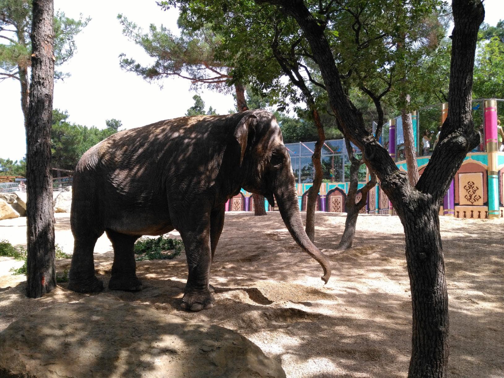 Female ♀ Asian elephant (Elephas maximus) Tschani (Chani) at Gelendzhik Safaripark